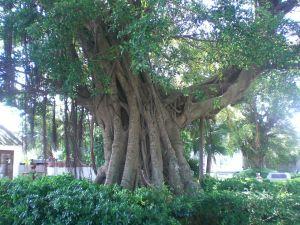 le banian est un arbre aux multiples racines, métaphore de l'ancrage à la terre et de la force vitale